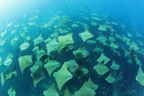 Stingray Migration