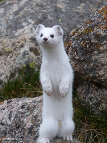 Stoat in its winter Coat Kyrgyzstan