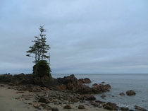Storm battered Spruce trees on a lone pillar of rock facing the open Pacific ocean Cape Scott BC