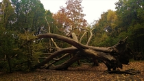 Storms in  brought down some of the oldest trees in Hampstead Heath Heres one of the most impressive ripped from its roots but amazingly still in one piece  London UK
