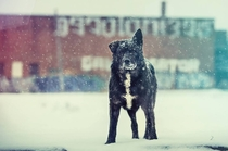 Stray dog AKA Satan in Detroit  Photo by Joe Gall
