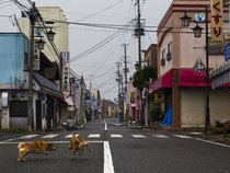 Stray dogs fight in the deserted streets of Okuma Japan Near Fukushima