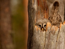 Strix nebulosa the Great Gray Owl sits perfectly camouflaged inside a tree protecting its nest  photographed by Mauro Mozzarelli
