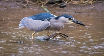 Strolling for Fish - A Black-crowned Night Heron looks for lunch