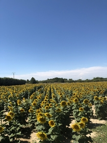 Stunning sunflowers in France