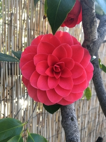 Stunningly perfect camellia