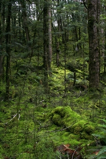 Sub Alpine Forest of New Zealands South Island Kepler Track