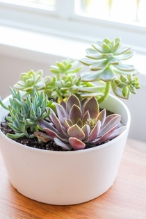Succulent Arrangement - Senecio Serpens Blue Chalksticks Graptopetalum Paraquayense Ghost Plant Echeveria Secunda Hens amp Chicks