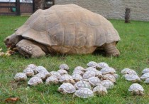 Sulcata Giant Tortoise with  Hatchlings x - post from rpics
