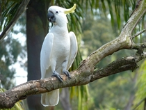 Sulphur-crested cockatoo - Sydney