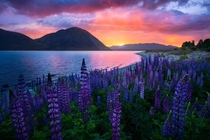 Summer bloom South Island NZ OC x williampatino_photography