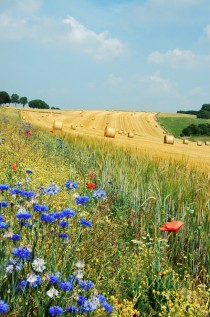 Summer field in Belgium
