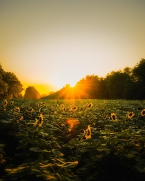 Summer in a Sunflower Field outside of DC  james_films