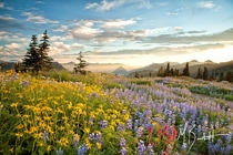 Summers Bloom II - Up in the flower fields of Paradise in Mount Rainier National Park  photo by Michael Burkhardt