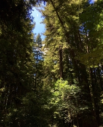 Sun hitting the Redwoods in Felton CA