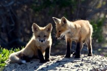 Sun shines on two small fox cubs