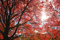 Sun shining through beautiful fall foliage - Amberley Village OH USA -