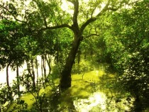 Sundari trees Heritiera fomes growing in the Sundarbans