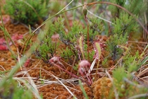 Sundew in the Scottish Highlands