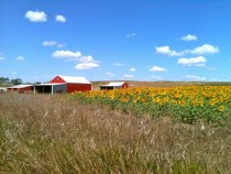 Sunflower field in Belfield North Dakota