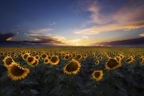 Sunflower Fields in Colorado at Sunset
