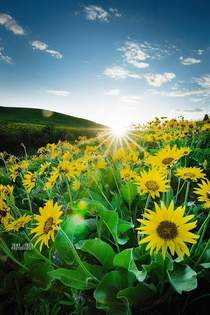 Sunflowers at Sunset in the Pacific Northwest x