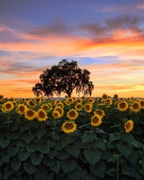 Sunflowers at sunset in Woodland California  kathryn_dyer