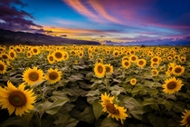 Sunflowers at Sunset - North Oahu x