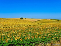 Sunflowers Field Aljustrel Alentejo Portugal