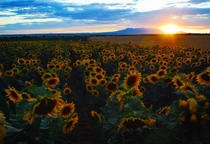 Sunflowers in Colorado