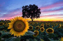 SUNflowerSET - the Amazing Sunflower Fields of Yolo County CA -  - IG BersonPhotos