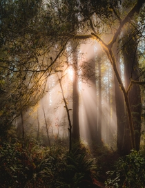 Sunlight bursting through the misty forest in Lady Bird Johnson Grove Redwood National Park Orick California USA