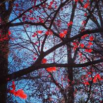 Sunlight on a Japanese maple