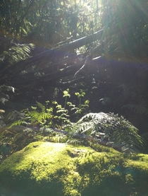 Sunlight on the moss and ferns KunanyiMt Wellington Tasmania  OC