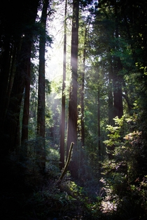 Sunlight through the trees Muir Woods National Monument CA
