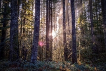 Sunlight through trees at Gifford Pinchot National Forest Washington