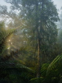 Sunrays in an ancient Australian rainforest - Barrington Tops NP OC x dalegphoto