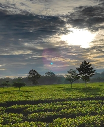 Sunrise and Moonset over the Tea plantations of Dibrugarh Assam India