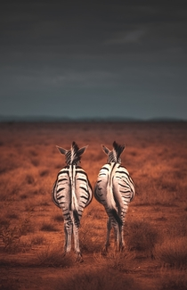 Suns out bumps out Two Zebras on the plains of Ethosa before a storm rolls in