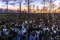 Sunset in a flooded pine flatwoods about a month after a fire swept through in central Florida