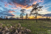Sunset in a pine flatwoods ecosystem about  weeks after a fire in central Florida