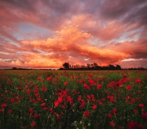 Sunset over a poppy field in Denmark