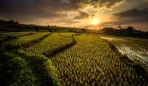 Sunset over the rice field terraces of Indonesia