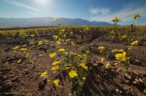 Super bloom Death ValleyCA covered in flowers