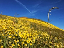 Super Bloom in Carrizo Springs National Monument CA