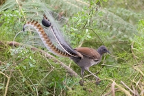Superb Lyrebird Menura novaehollandiae