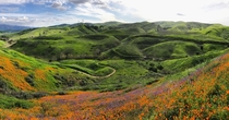 Superbloom among the rolling greens of Chino Hills State Park outside of Los Angeles CA