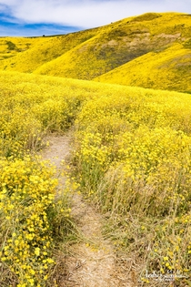 Superbloom at Carrizo Plains National Monument