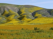 Superbloom of wildflowers at the Carrizo Plain Nat Monument CA