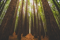 Surrounded by Giants California Redwood Forest Melbourne Australia